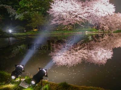 夜桜を照らす屋外庭園のスポットライト